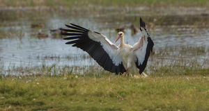 White Stork openwings Royalty Free Stock Photography