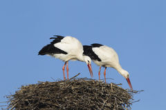 White stork pair Stock Photos