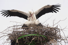 White Stork Pair Mating Royalty Free Stock Images