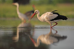 White Stork. The picture was taken in Hungary Stock Photos