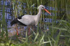 White stork in pond Royalty Free Stock Photo