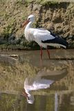White stork in pond Stock Photography