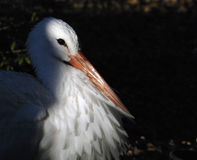 White Stork Portrait. A white stork in profile barely in the sun light Royalty Free Stock Photos