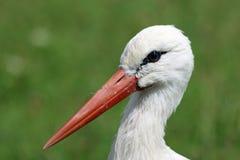 White stork portrait royalty free stock photography