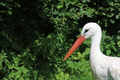White stork portrait royalty free stock images
