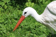White stork portrait royalty free stock photo