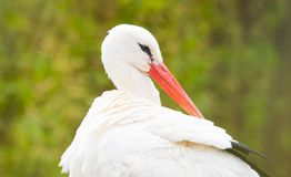 White stork portrait close up. The white stork, Ciconia ciconia, is a large bird in the stork family Ciconiidae. Its plumage is mainly white, with black on its royalty free stock image
