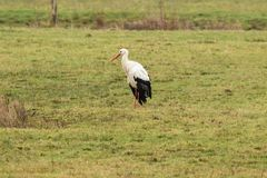 White stork posing in a meadow Royalty Free Stock Image