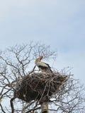 White stork preening feathers Stock Photos