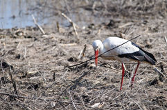 White stork preparing for the nesting Stock Images