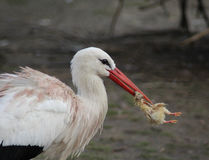 White Stork with prey Stock Photos