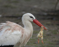 White Stork with prey stock photography