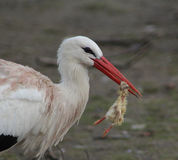 White Stork with prey Stock Images