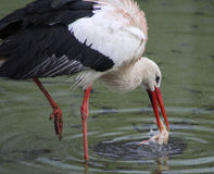 White Stork with prey Royalty Free Stock Photos