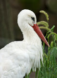 White Stork. A profile view of a White Stork, Ciconia ciconia, standing in tall grasses and other vegetation. These birds feature a dark red long conical bill stock photography