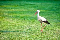Stork at a meadow. White stork in profile walking across a grassy area Royalty Free Stock Photo