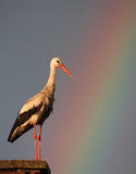White Stork with rainbow. The picture was taken in Hungary Royalty Free Stock Image