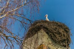 A white stork with red beak sitting on nest. Made of little brown twigs placed on top of chimney with red bricks, birch tree, sunny spring day, bright blue sky stock image