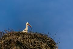 A white stork with red beak sitting on nest. Made of little brown twigs, sunny spring day, bright blue sky, copy space stock photo