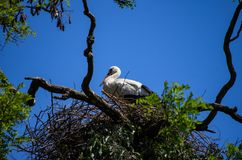 A white stork with red beak sitting on nest on top of a tree sunny spring day, bright blue sky. 2019 stock images