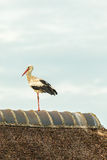 White stork resting on a farm roof Stock Images