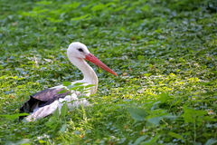 White stork resting in the wild Royalty Free Stock Image