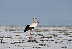 A white stork roams the snow-covered field Royalty Free Stock Image