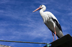 White stork on the roof of a house Royalty Free Stock Image