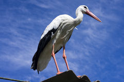 White stork on the roof of a house Stock Photo