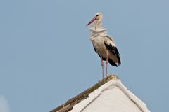 White Stork on a Roof Stock Photos