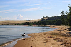 White stork in the sand beach of the Curonian lagoon near Morskoe Pillkoppen village. Royalty Free Stock Photography