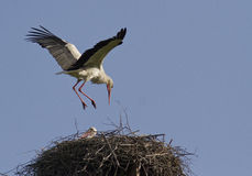 White stork sits in a nest. The male sits in the white stork nest Stock Photo
