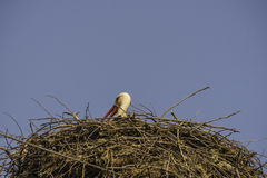 A white stork sitting on the nest Stock Photo