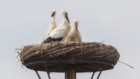 White stork sitting on a nest. The young ones are a few weeks old now Royalty Free Stock Photography