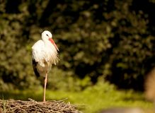 White stork sitting in the nest stock images
