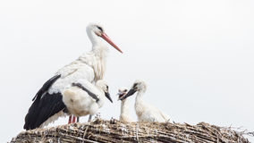 White stork sitting on a nest. The young ones are a few weeks old now Stock Images