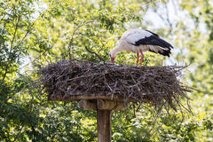 White stork sitting on a nest. The young ones are a few weeks old now Royalty Free Stock Photo