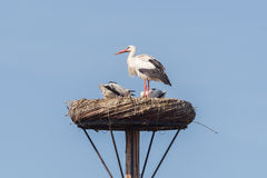 White stork sitting on a nest stock photo