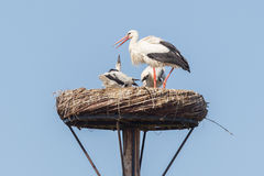 White stork sitting on a nest. The young ones are a few weeks old now Stock Photos