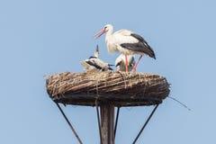 White stork sitting on a nest stock photos