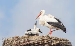 White stork sitting on a nest stock images