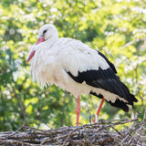 White stork sitting on a nest stock photography