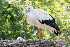 White stork sitting on a nest. The young ones are a few weeks old now Royalty Free Stock Images