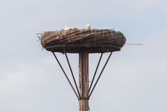 White stork sitting on a nest. The young ones are a few weeks old now Stock Photography