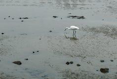 White stork Royalty Free Stock Photo