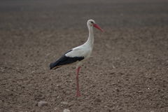 White stork. Standing in the field Royalty Free Stock Photo