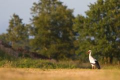 White stork standing in a grassland Stock Photos