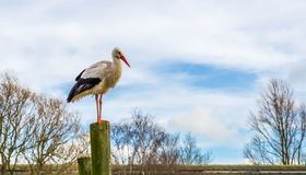 White stork standing on a high wooden pole with a blue sky in the background,Migrated bird from Africa royalty free stock image