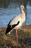 White Stork standing by a pond Royalty Free Stock Images