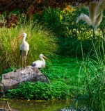 White stork standing on a rock with another stork in the background, common birds of europe stock photo